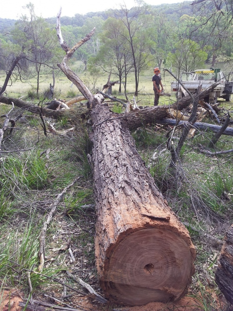 Solid trees that have died from natural causes are harvested for furniture, leaving those with hollows are left for wildlife habitat.